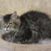 Adopt A Pet :: Popeye - Kingston, WA