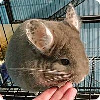 Adopt A Pet :: Izzy - Granby, CT