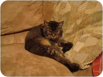 Domestic Shorthair Cat for adoption in Washington Terrace, Utah - Buddy