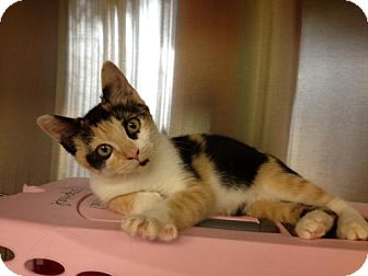 Calico Kitten for adoption in Secaucus, New Jersey - Angie