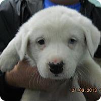 Adopt A Pet :: Snowball - South Jersey, NJ