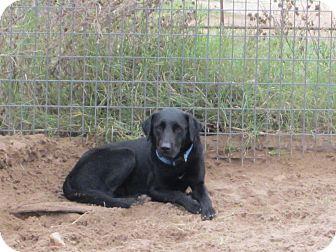 Labrador Retriever Mix Dog for adoption in Cuero, Texas - Blink