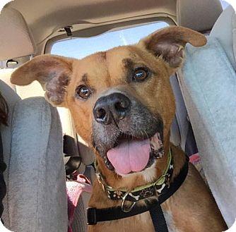 Labrador Retriever Mix Dog for adoption in Jacksonville, Florida - Lazer