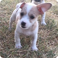 Adopt A Pet :: Clementine In Dallas/Ft Worth - Dallas/Ft. Worth, TX