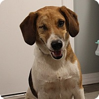 Beagle Mix Dog for adoption in Owasso, Oklahoma - Buttons