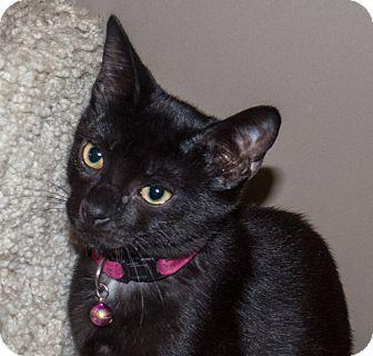 Domestic Shorthair Kitten for adoption in Elmwood Park, New Jersey - Baron
