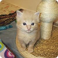 Adopt A Pet :: Mango - Youngsville, NC