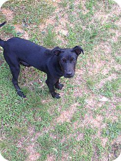 Labrador Retriever Mix Dog for adoption in Manhasset, New York - Allie