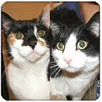 Domestic Mediumhair Cat for adoption in Atlanta, Georgia - Morgan & Savannah
