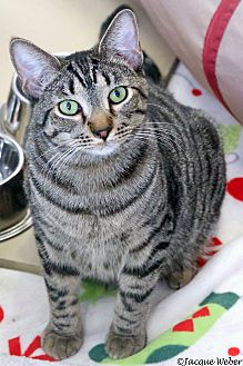Domestic Shorthair Cat for adoption in St Louis, Missouri - Apollo