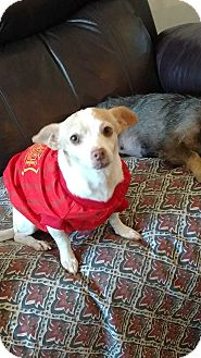 Dachshund/Chihuahua Mix Dog for adoption in San Diego, California - Britney
