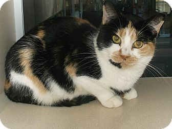 Calico Cat for adoption in Gloucester, Virginia - CANDYCORN