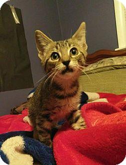Domestic Shorthair Kitten for adoption in Hampton, Virginia - JUANITA