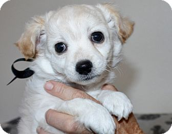 Maltese/Poodle (Toy or Tea Cup) Mix Puppy for adoption in Yorba Linda, California - George