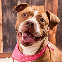 Pit Bull Terrier Dog for adoption in Vancouver, Washington - Bella