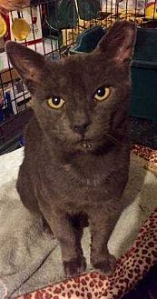 Domestic Shorthair Cat for adoption in New City, New York - Pops