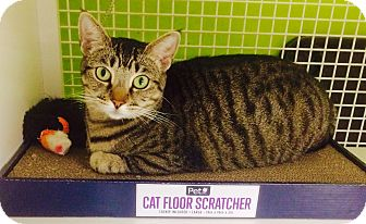 Domestic Shorthair Cat for adoption in Los Angeles, California - Tabitha