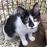 Domestic Shorthair Cat for adoption in Homestead, Florida - Tree