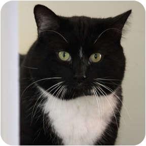 Domestic Shorthair Cat for adoption in Verdun, Quebec - Watson