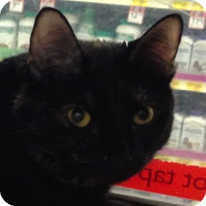 Domestic Shorthair Cat for adoption in Gilbert, Arizona - Carrie