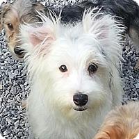 Adopt A Pet :: Birch - Brattleboro, VT