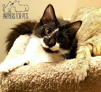 Domestic Mediumhair Cat for adoption in Troy, Illinois - Basheera Fostered (Patty)