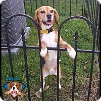 Adopt A Pet :: Roger - Yardley, PA