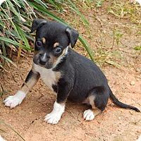 Adopt A Pet :: Samurai(1.5 lb) New Pics/Video - SUSSEX, NJ