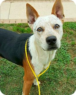 Australian Cattle Dog Mix Dog for adoption in Fredericksburg, Texas - Deputy