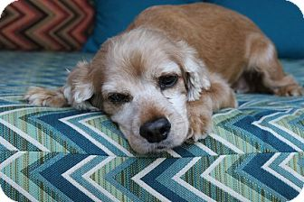 Cocker Spaniel Dog for adoption in Santa Barbara, California - Happy