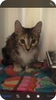 Domestic Shorthair Kitten for adoption in Columbus, Georgia - Jeckyll 8438