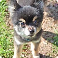 Adopt A Pet :: Boomer - Charlotte, NC