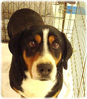 Australian Shepherd/Basset Hound Mix Dog for adoption in Las Vegas, Nevada - Marvin