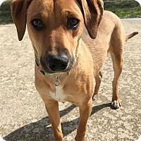Adopt A Pet :: Cinnamon - Joliet, IL