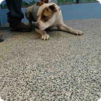 Pit Bull Terrier Mix Dog for adoption in San Bernardino, California - URGENT on 4/8 SAN BERNARDINO