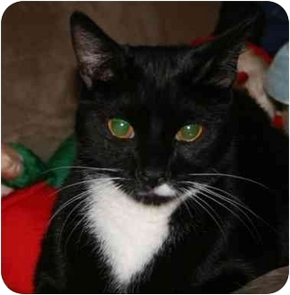 Domestic Shorthair Cat for adoption in Jenkintown, Pennsylvania - Max