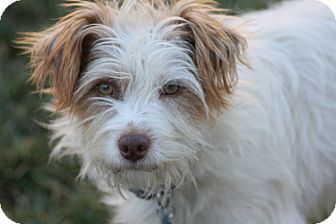 Terrier (Unknown Type, Small) Mix Dog for adoption in Mission Viejo, California - BRADY