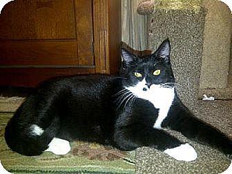 Domestic Shorthair Cat for adoption in San Jose, California - Hardy