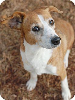Beagle/Corgi Mix Dog for adoption in Marietta, Georgia - Cookie