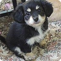 Adopt A Pet :: Hershey - La Habra Heights, CA