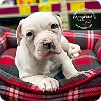 Adopt A Pet :: Pup 3 - Mesa, AZ