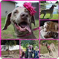 Adopt A Pet :: STORMY - Inverness, FL