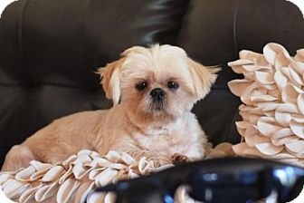 Shih Tzu Dog for adoption in Springfield, Virginia - Teddy
