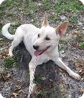 Australian Cattle Dog Mix Dog for adoption in Gainesville, Florida - Dingo