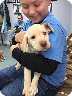 Labrador Retriever Mix Puppy for adoption in Hawk Point, Missouri - Dagur