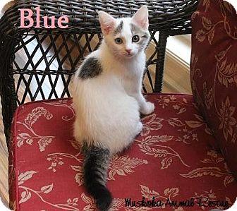 Domestic Shorthair Kitten for adoption in Huntsville, Ontario - Blue - Adopted - November 2016
