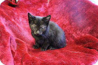 Domestic Shorthair Kitten for adoption in Greensboro, North Carolina - Isablelle