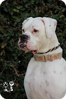 Boxer Dog for adoption in Fremont, California - Huggy (with Chuckster)