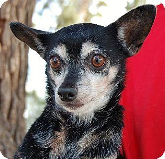 Chihuahua Mix Dog for adoption in Las Vegas, Nevada - Marigold