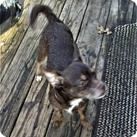 Chihuahua Mix Dog for adoption in Mansfield, Texas - Davey